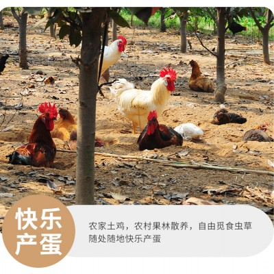 香椿基地散养土鸡蛋