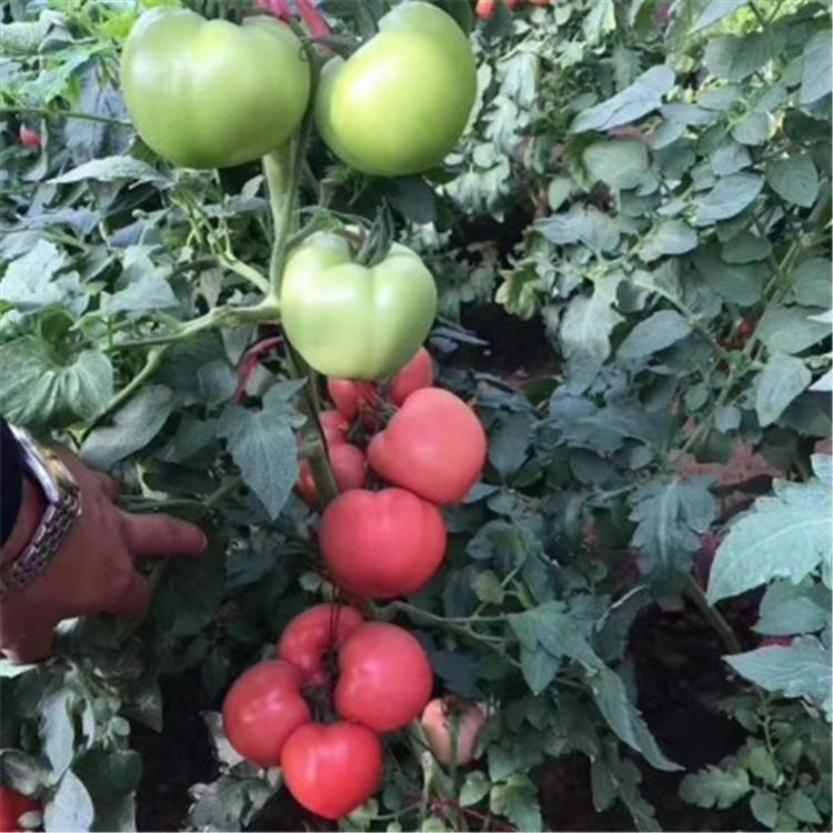 番茄,即西红柿,是管状花目、茄科、番茄属的一种一年生或多年生草本植物,体高0.6-2米,全体生粘质腺毛,有强烈气味,茎易倒伏,叶羽状复叶或羽状深裂,花序总梗长2-5厘米,常3-7朵花,花萼辐状,花冠辐
