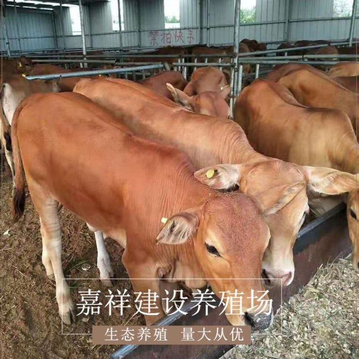 纯种鲁西黄牛种苗销售 优良鲁西黄牛 鲁西黄牛小公牛出售