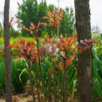 红油香椿苗 5万株