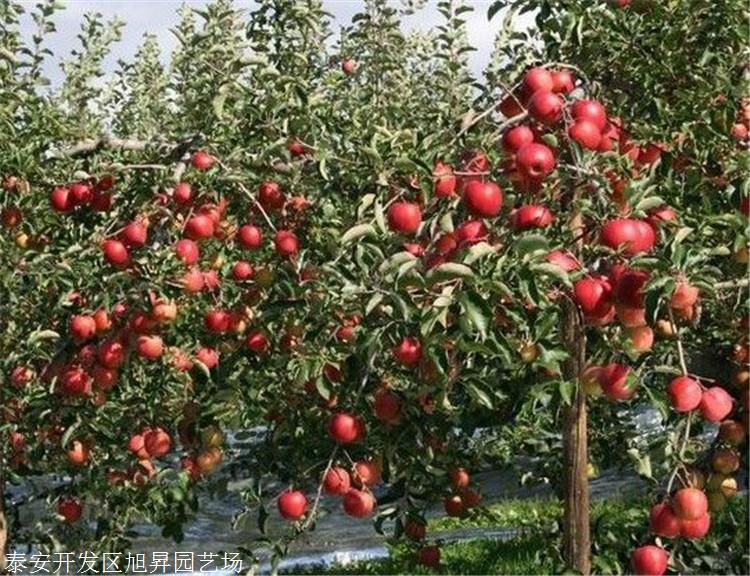 M9t337苹果苗 高产苹果苗 技术指导 111号苹果苗