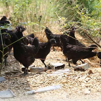 香椿基地散养土鸡